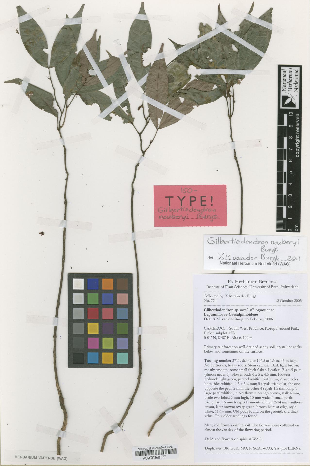 WAG0360177 | Gilbertiodendron newberyi Burgt