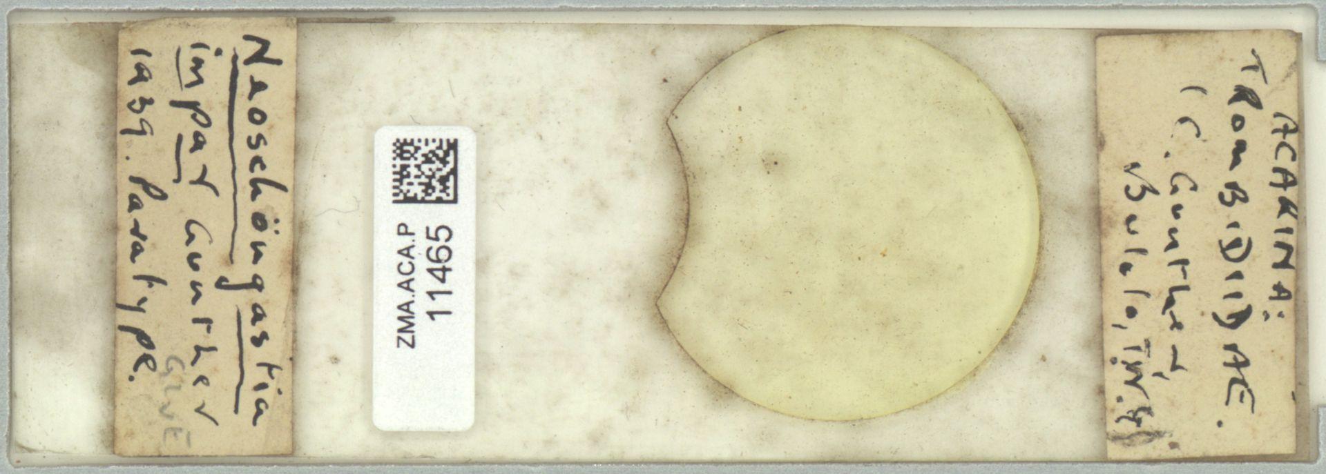 ZMA.ACA.P.11465 | Neoschögastia impar