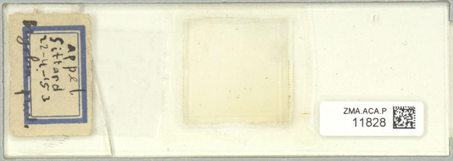 ZMA.ACA.P.11828 | Bryobia praetiosa