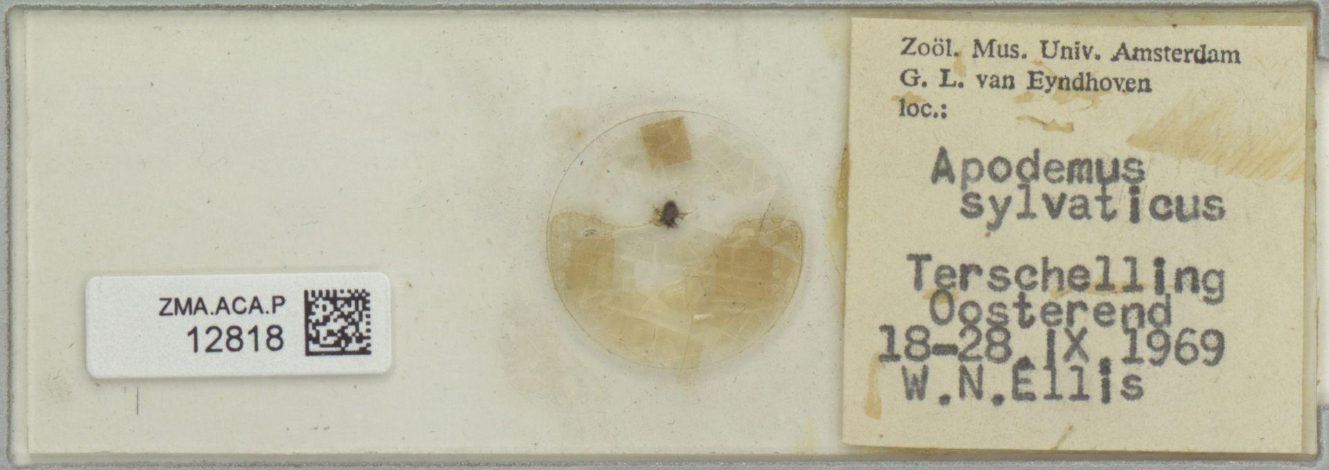 ZMA.ACA.P.12818 | Celaenopsidae