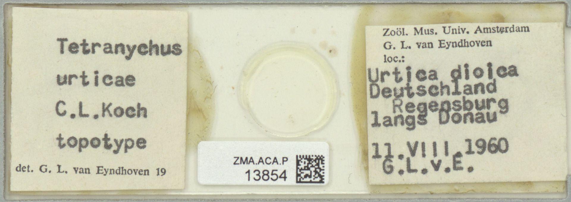 ZMA.ACA.P.13854 | Tetranychus urticae
