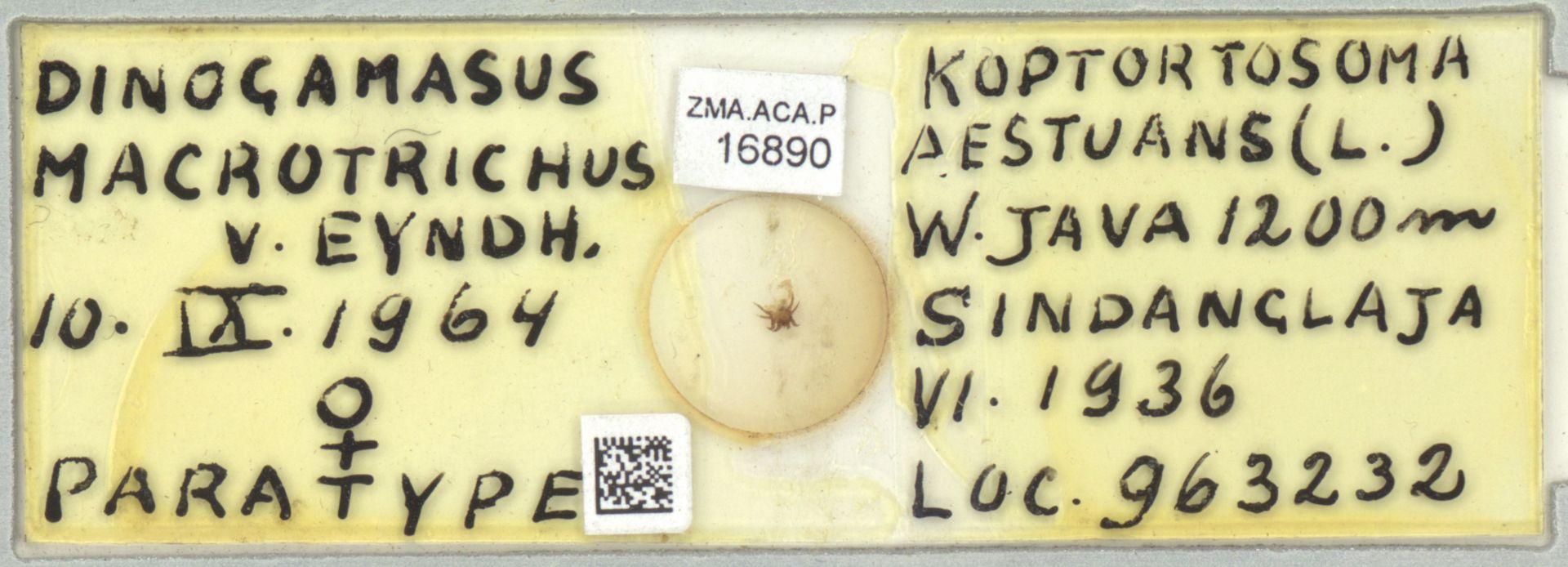 ZMA.ACA.P.16890 | Dinogamasus macrotrichus
