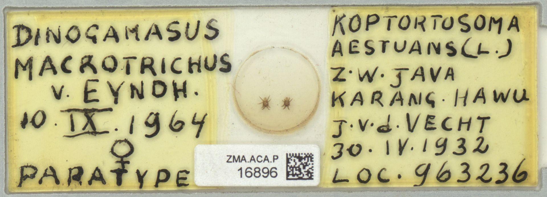 ZMA.ACA.P.16896   Dinogamasus macrotrichus