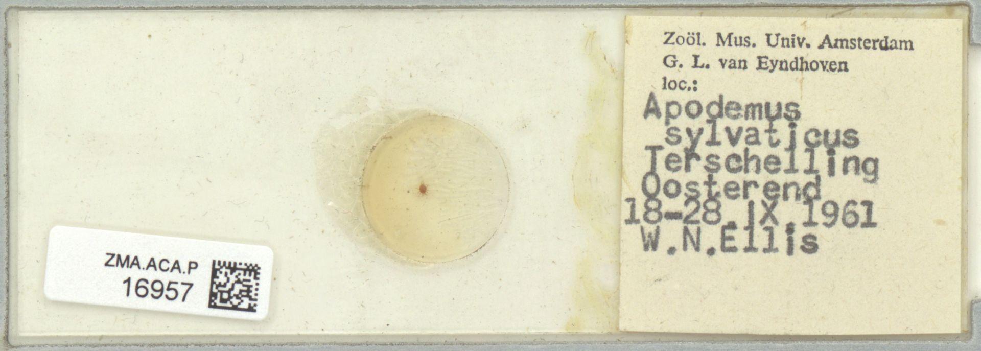 ZMA.ACA.P.16957 | Laelapidae