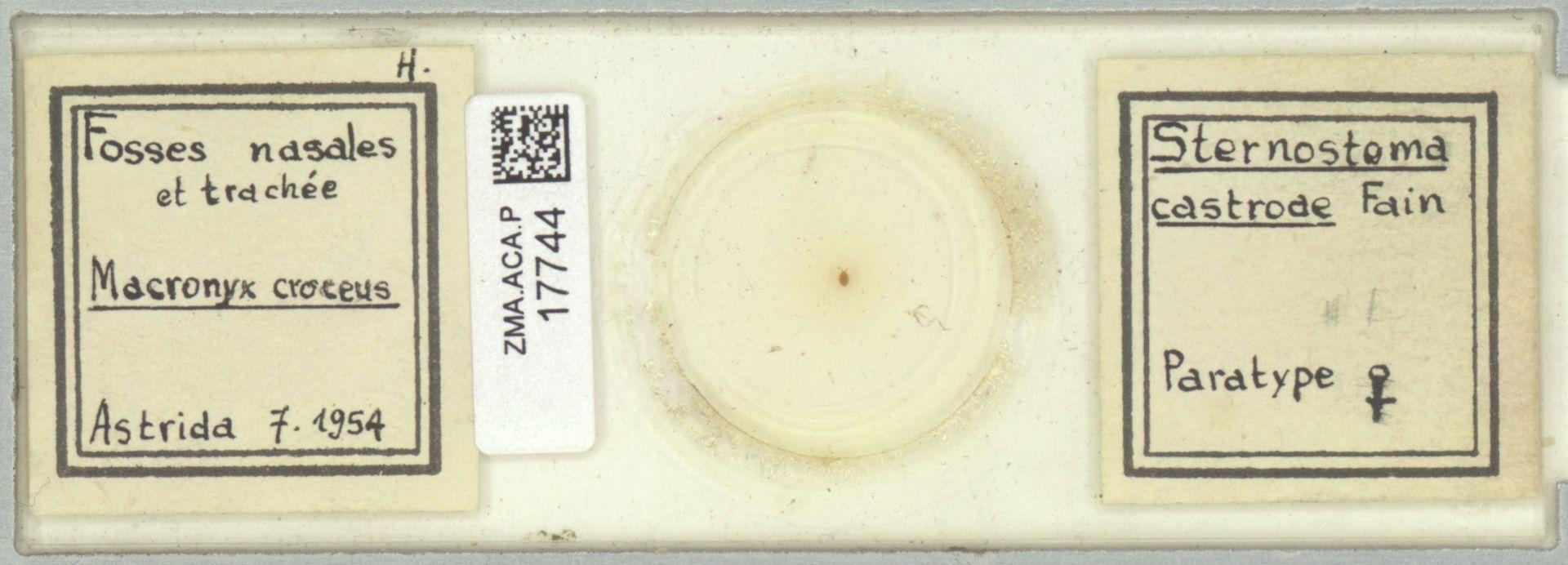 ZMA.ACA.P.17744   Sternostoma castrode
