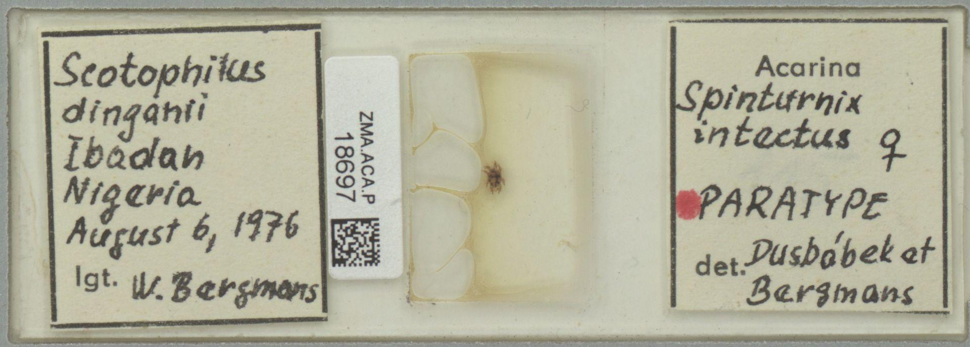 ZMA.ACA.P.18697 | Spinturnix intectus