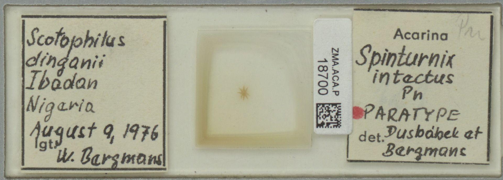 ZMA.ACA.P.18700 | Spinturnix intectus