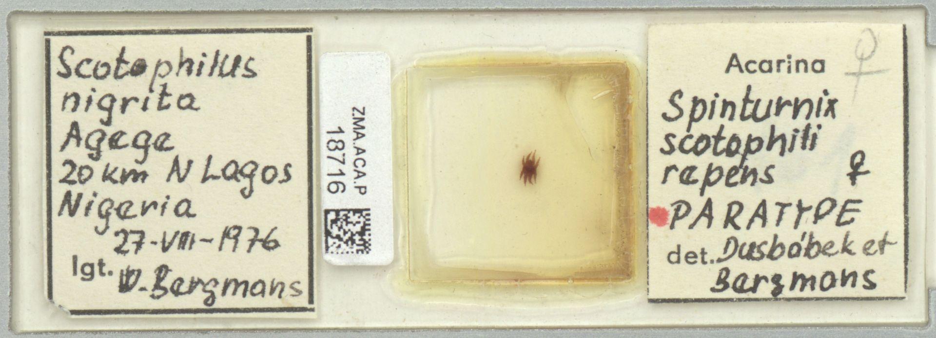 ZMA.ACA.P.18716 | Spinturnix scotophili repens