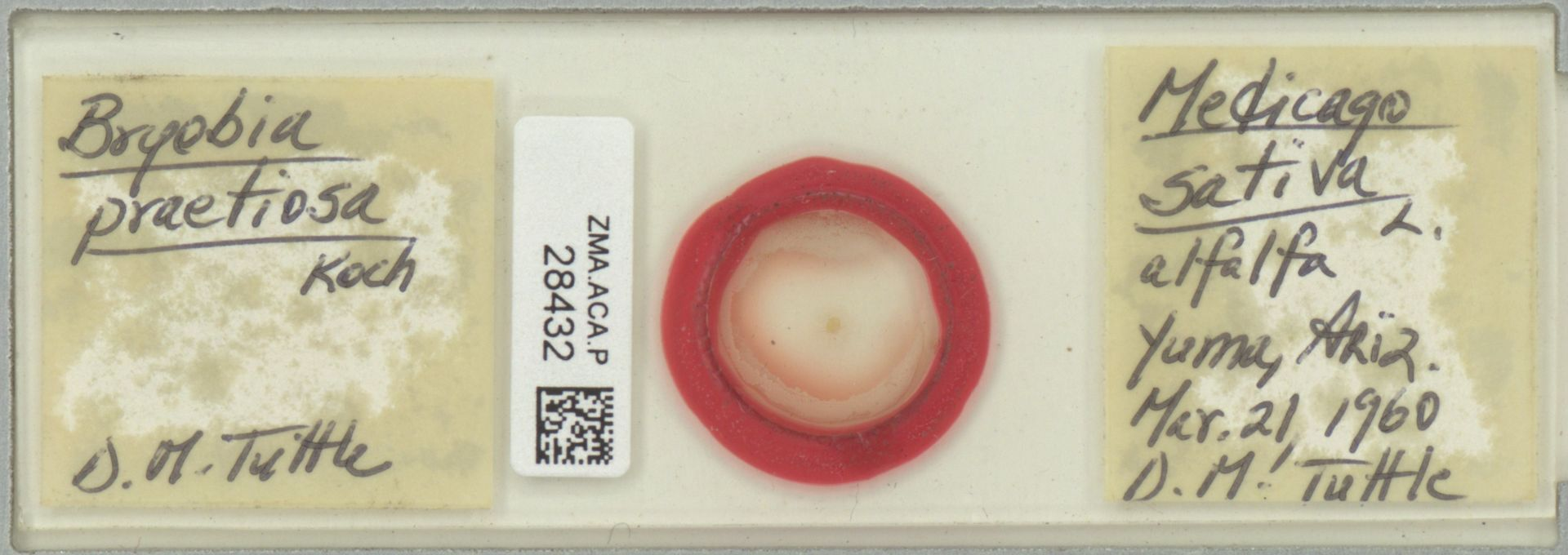 ZMA.ACA.P.28432   Bryobia praetiosa