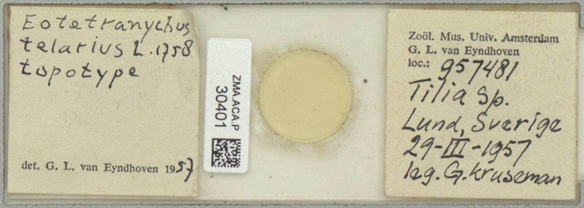 ZMA.ACA.P.30401 | Eotetranychus telarius L.,1758