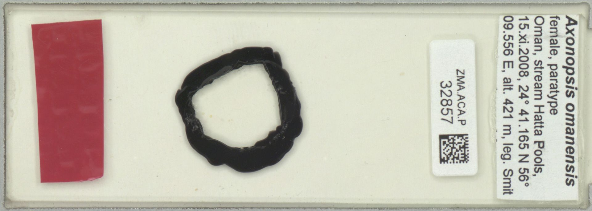 ZMA.ACA.P.32857 | Axonopsis omanensis Smit & Pesic, 2010