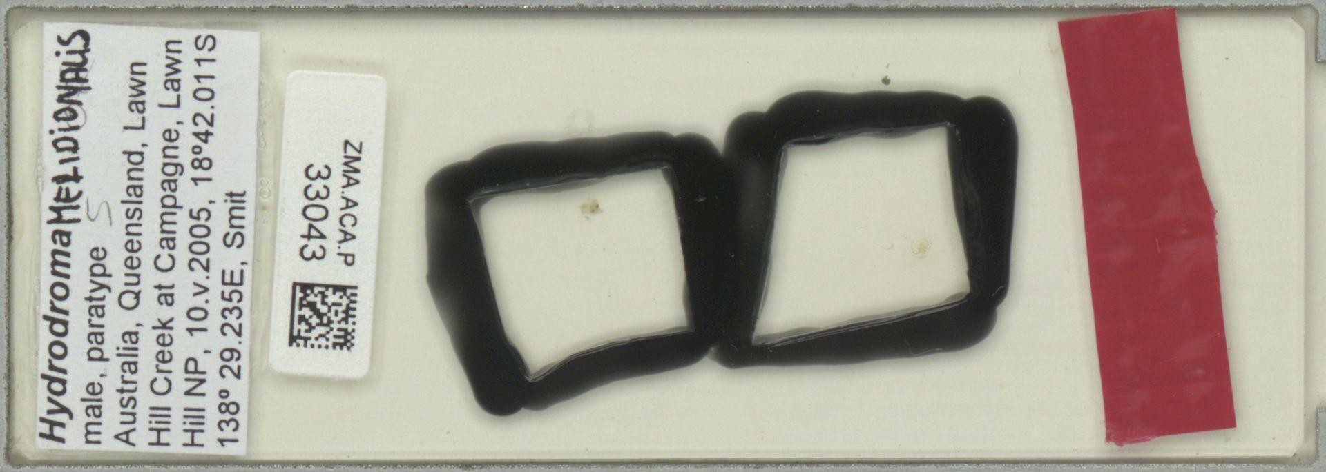 ZMA.ACA.P.33043 | Hydrodroma meridionalis Pesic & Smit, 2011