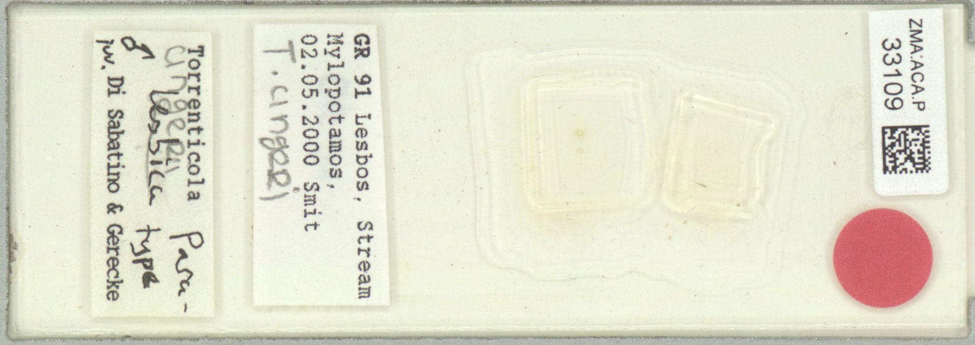 ZMA.ACA.P.33109 | Torrenticola ungeri (Szalay, 1927)