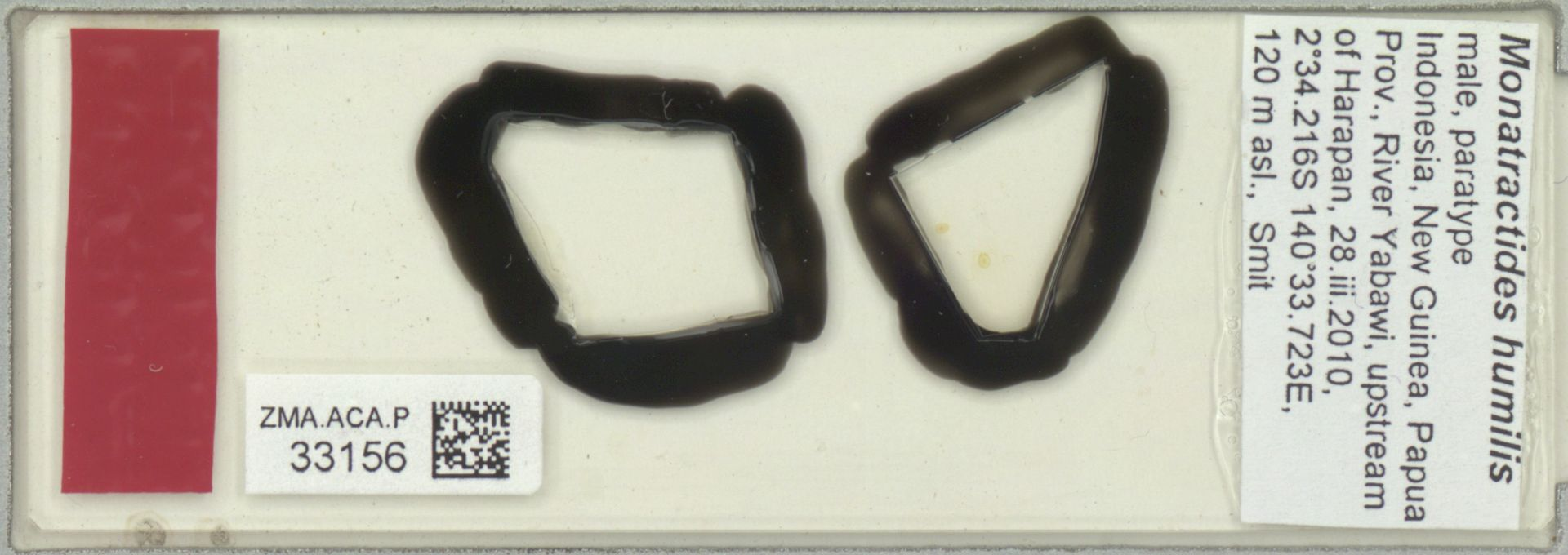 ZMA.ACA.P.33156 | Monatractides humilis Pesic & Smit, 2011