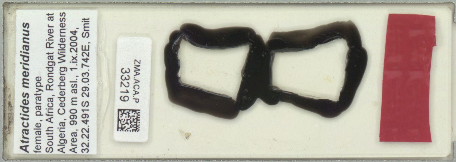 ZMA.ACA.P.33219   Atractides meridianus Pesic, Smit & Gerecke, 2011