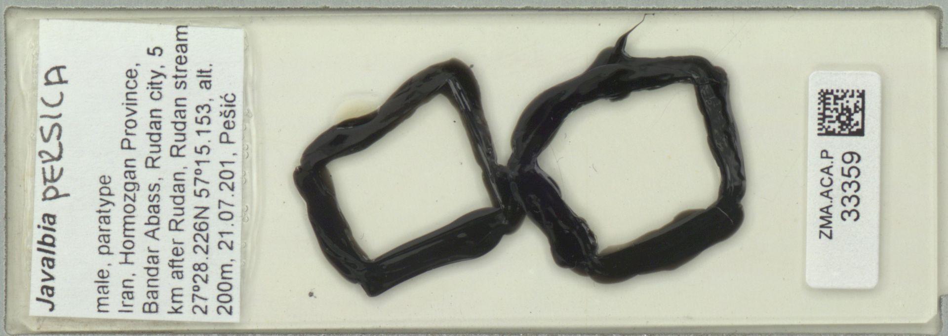 ZMA.ACA.P.33359 | Javalbia persica Pesic, Smit & Saboori, 2012