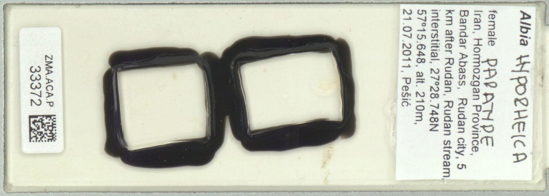 ZMA.ACA.P.33372   Albia hyporheica Pesic, Smit & Saboori, 2012