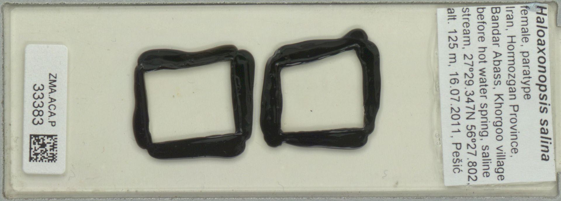 ZMA.ACA.P.33383 | Haloaxonopsis salina Pesic, Smit & Saboori, 2012