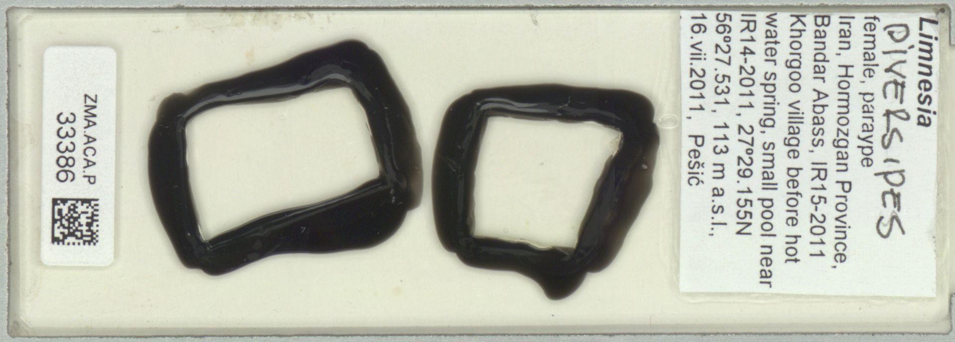 ZMA.ACA.P.33386 | Limnesia diversipes Pesic, Smit & Saboori, 2012