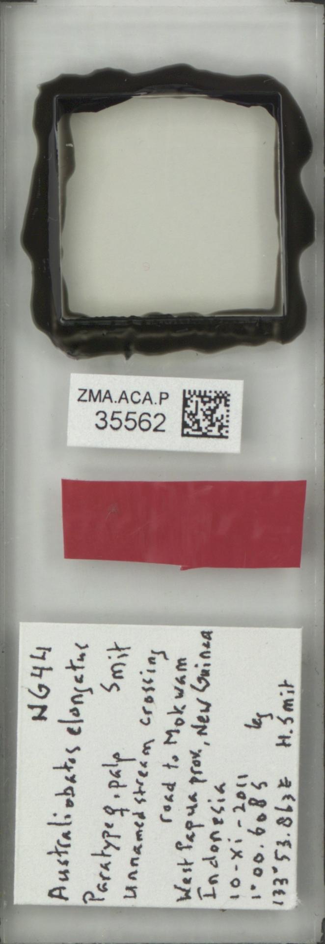 ZMA.ACA.P.35562 | Australiobates elongatus Smit, 2013