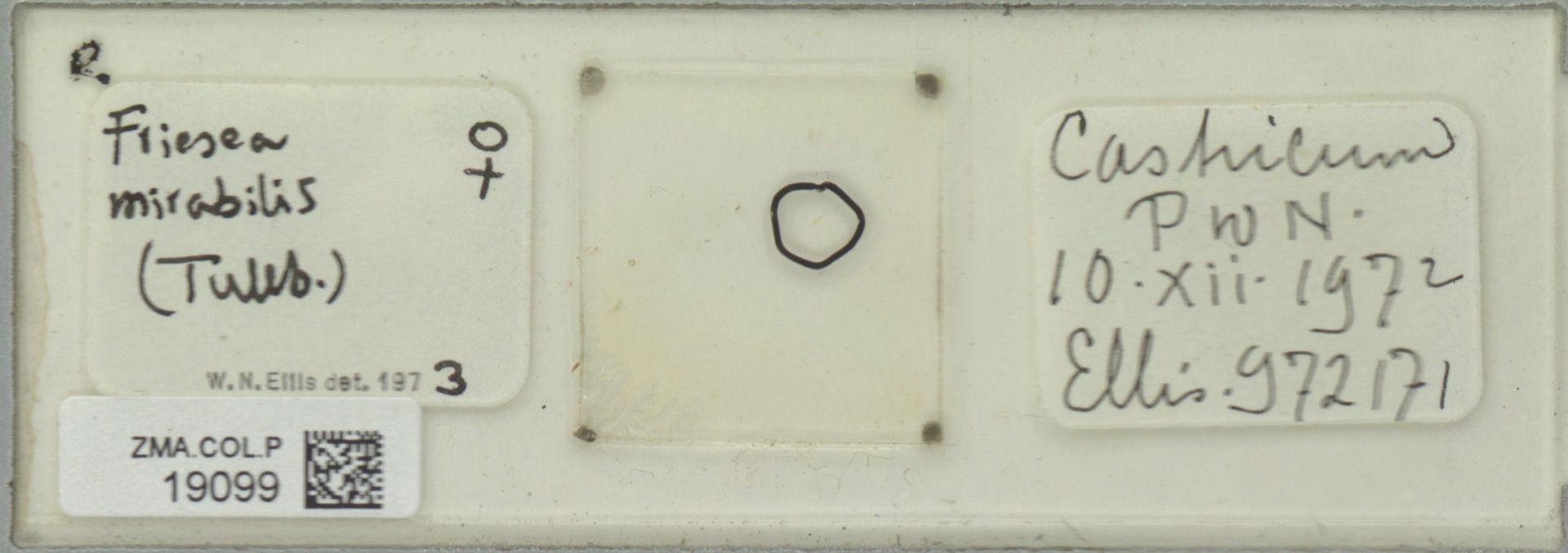 ZMA.COL.P.19099 | Friesea mirabilis (Tullb.)