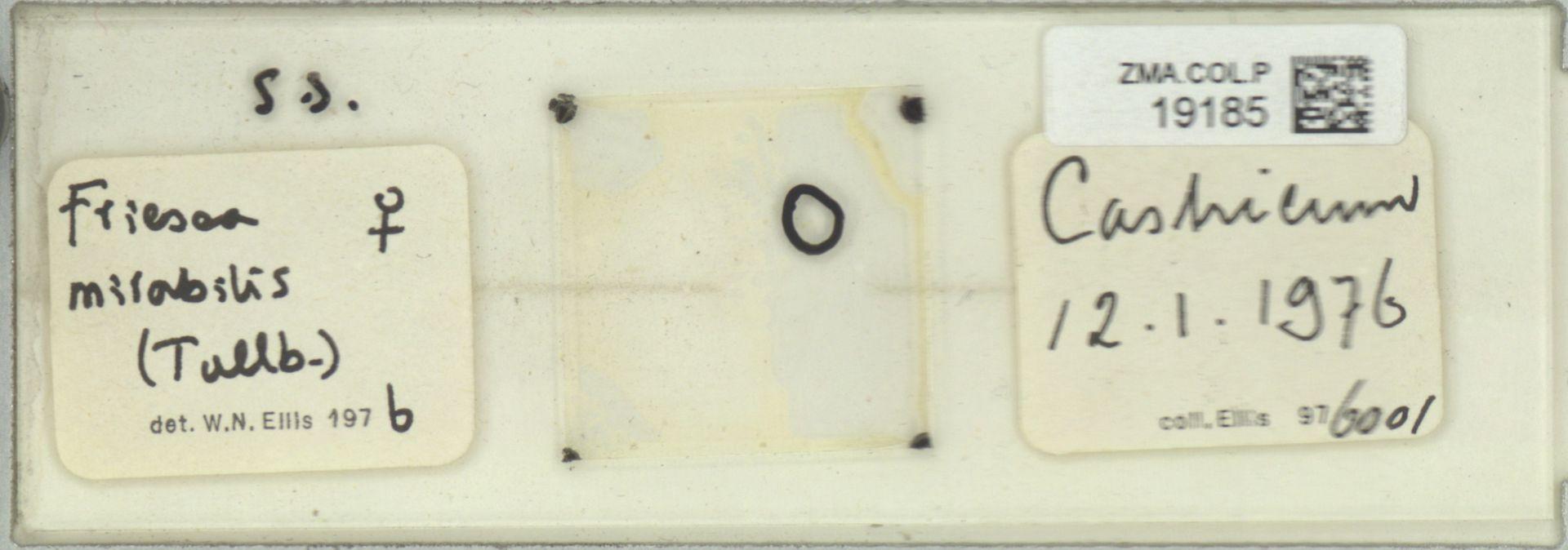 ZMA.COL.P.19185 | Friesea mirabilis (Tullb.)