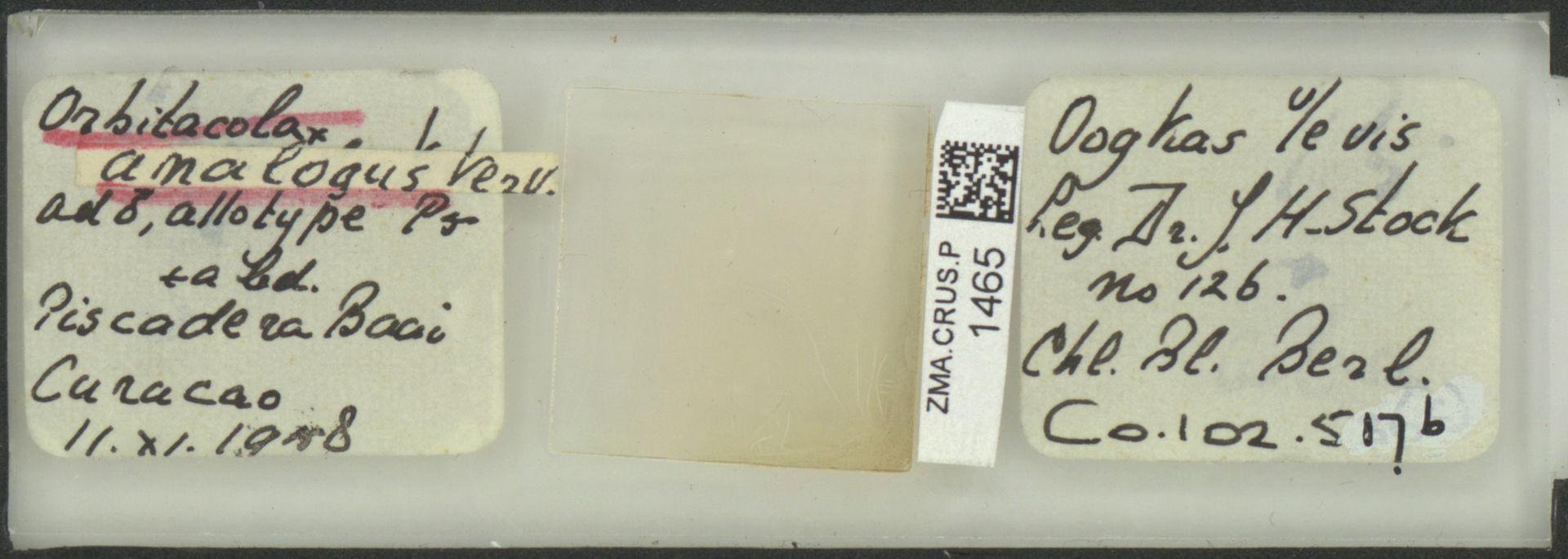 ZMA.CRUS.P.1465 | Orbitacolax analogus Vervoort