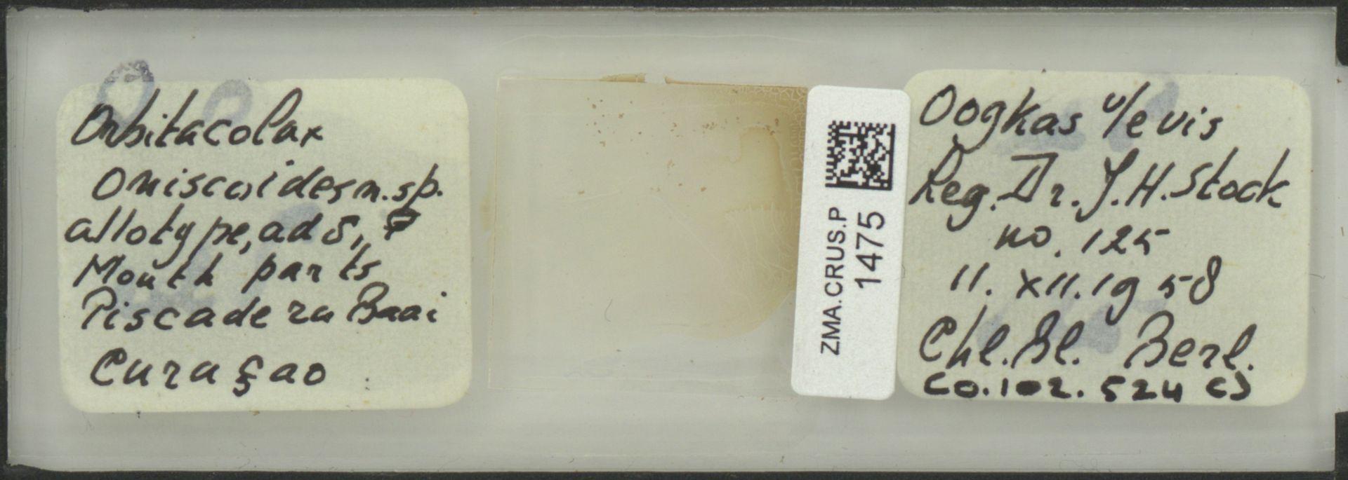 ZMA.CRUS.P.1475   Orbitocolax oniscoides
