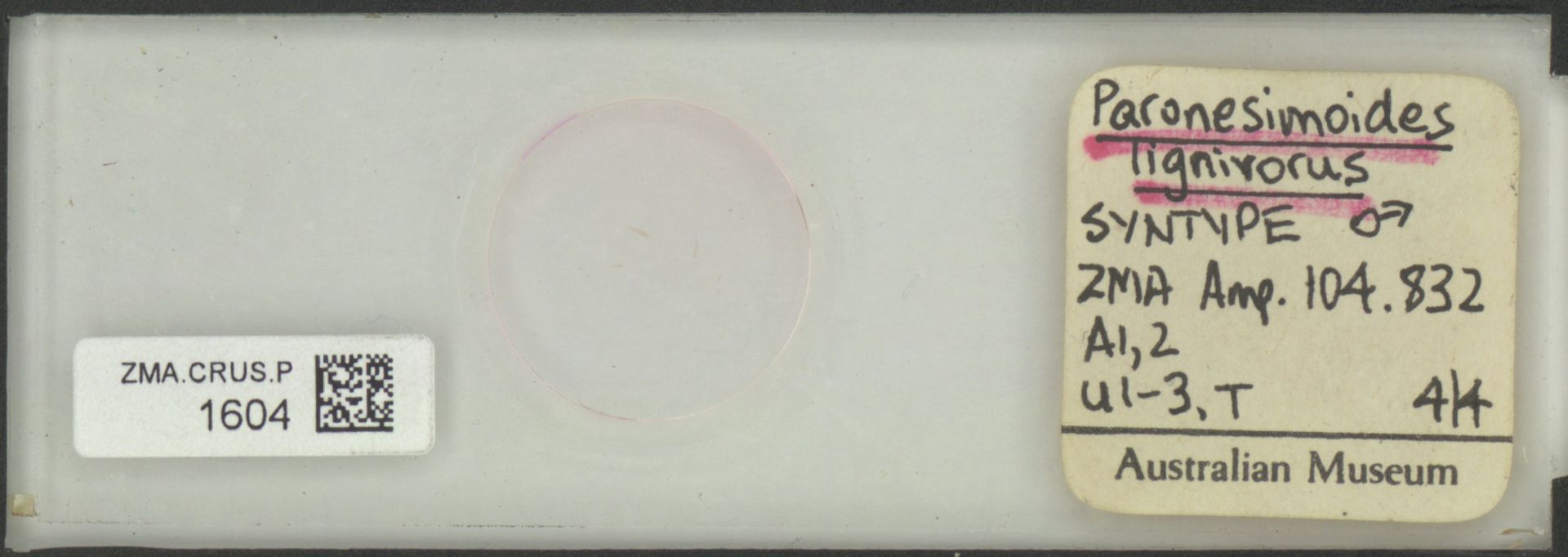 ZMA.CRUS.P.1604 | Paronesimoides lignivorus