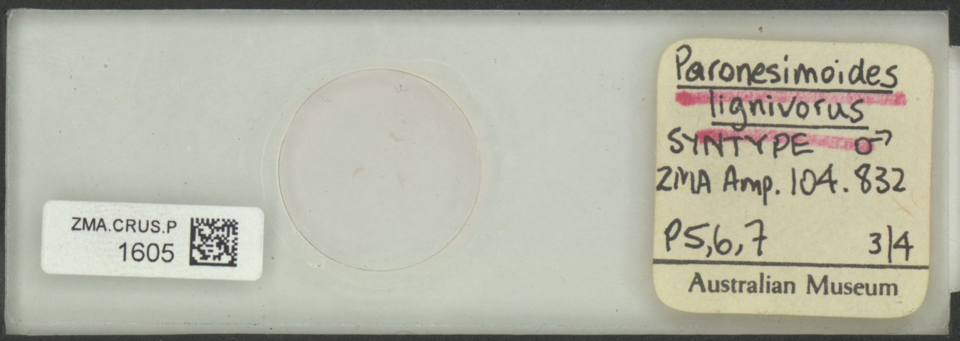 ZMA.CRUS.P.1605 | Paronesimoides lignivorus