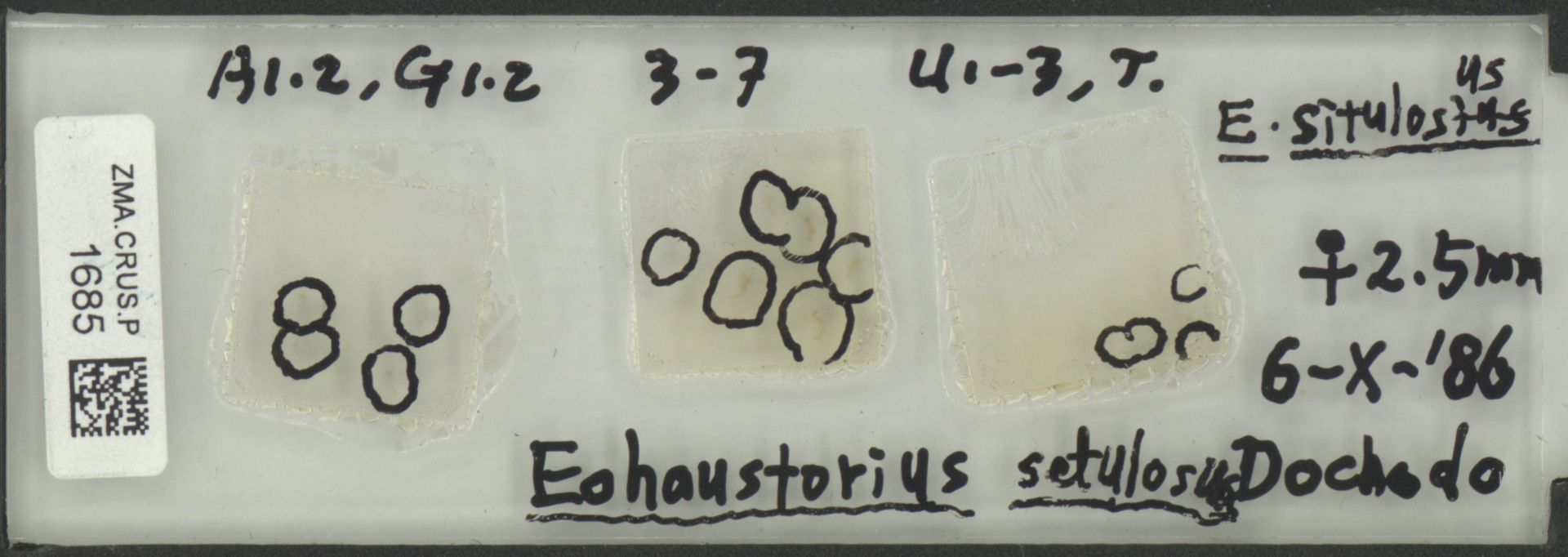 ZMA.CRUS.P.1685   Eohaustorius setulosus