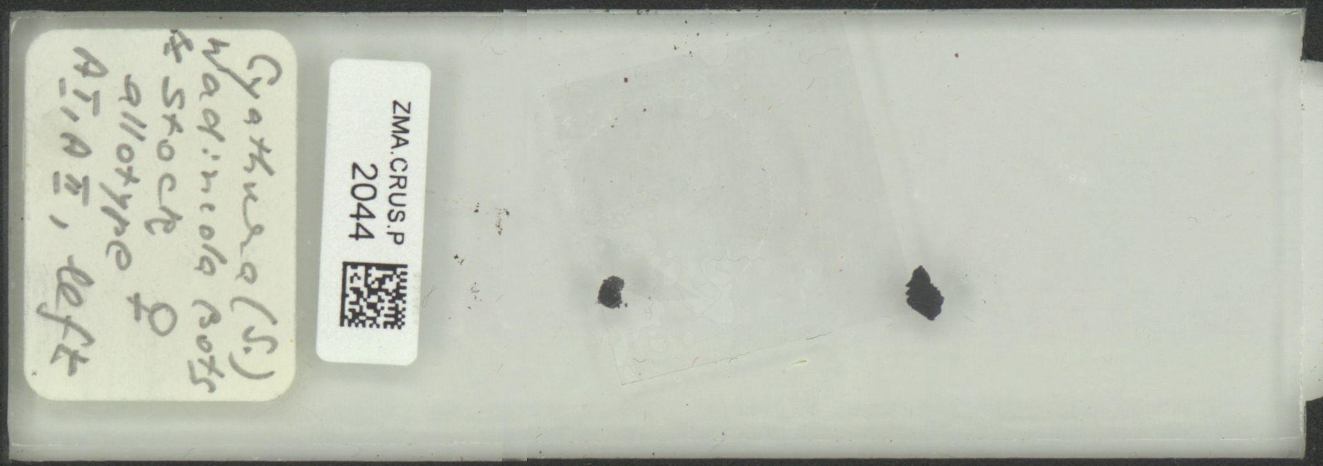 ZMA.CRUS.P.2044 | Cyathura (S.) wadincola Bots & Stock