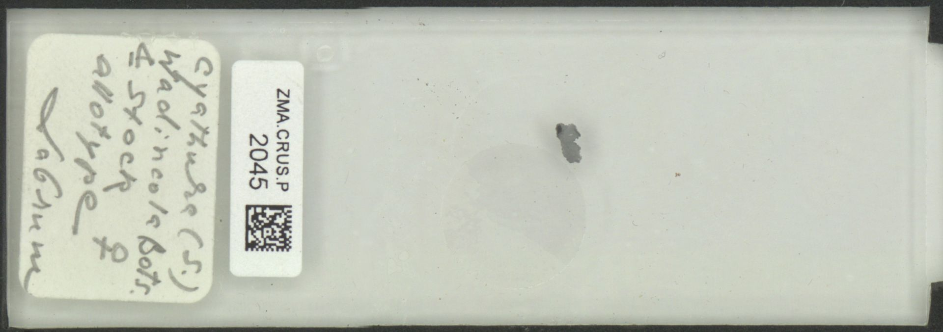 ZMA.CRUS.P.2045 | Cyathura (S.) wadincola Bots. & Stock