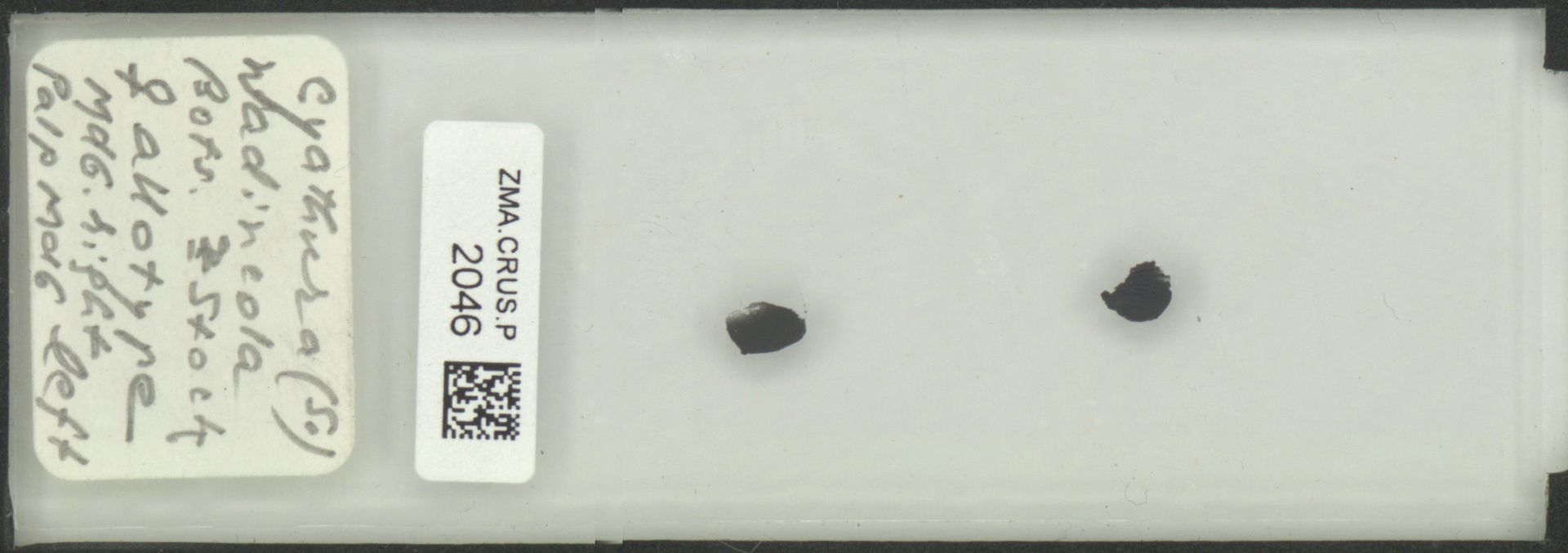ZMA.CRUS.P.2046 | Cyathura (S.) wadincola Bots. & Stock