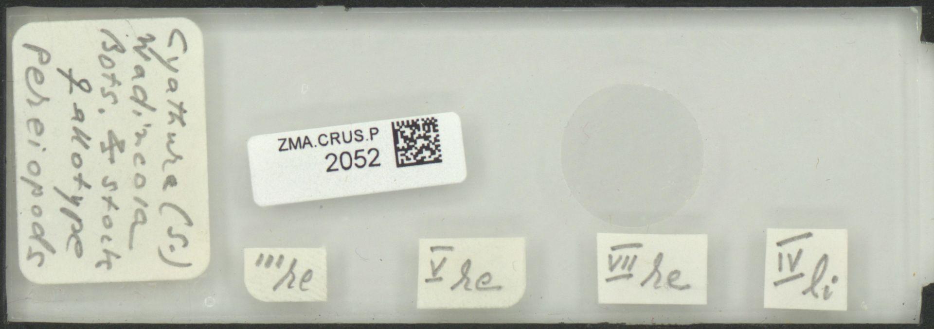 ZMA.CRUS.P.2052 | Cyathura (S.) wadincola Bots. & Stock