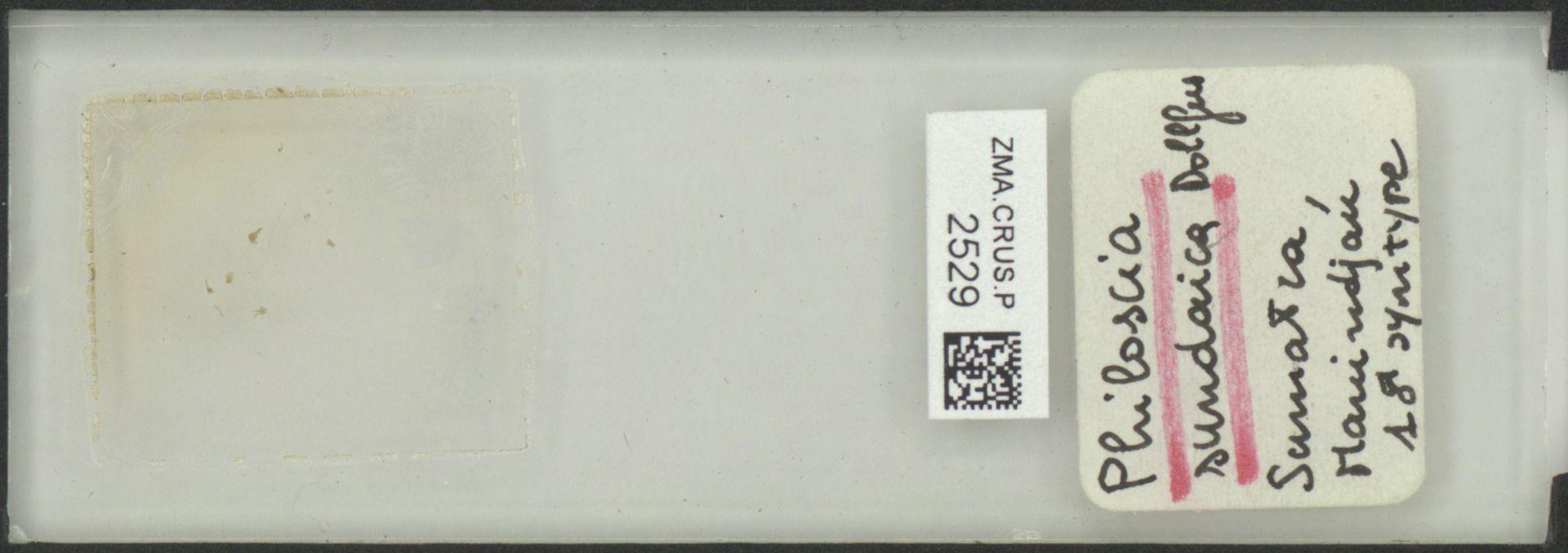 ZMA.CRUS.P.2529   Philoscia sundaica Dollfus