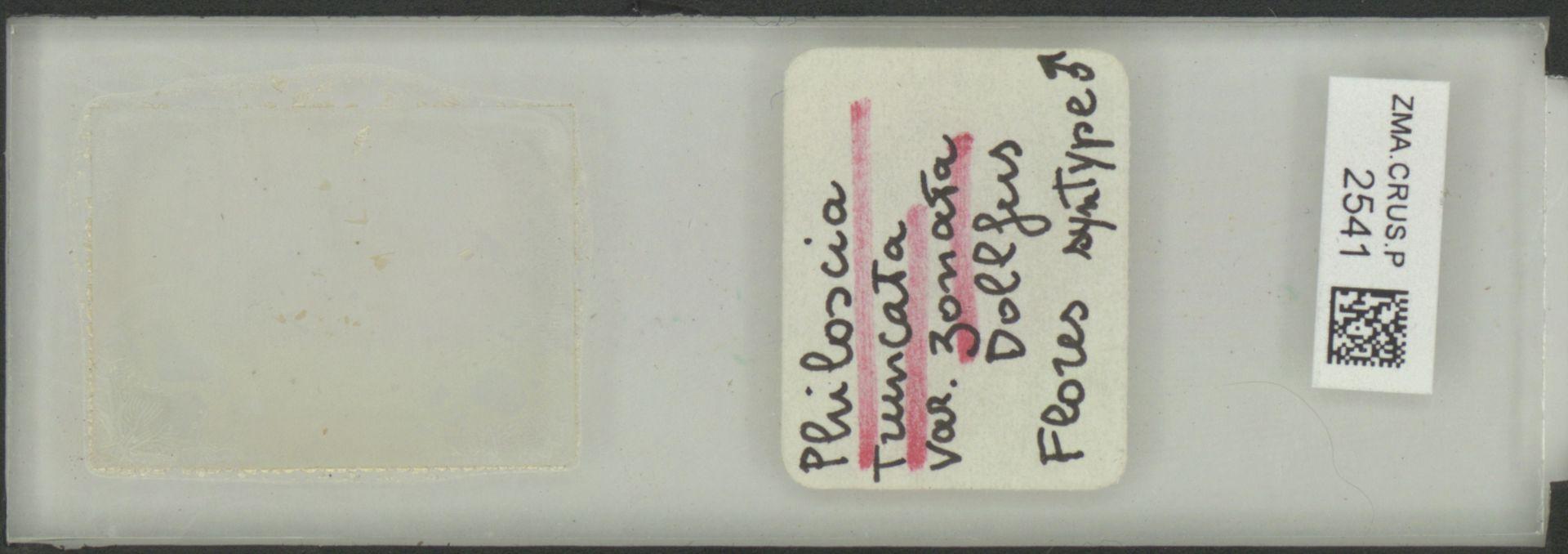 ZMA.CRUS.P.2541   Philoscia truncata zonata Dollfus