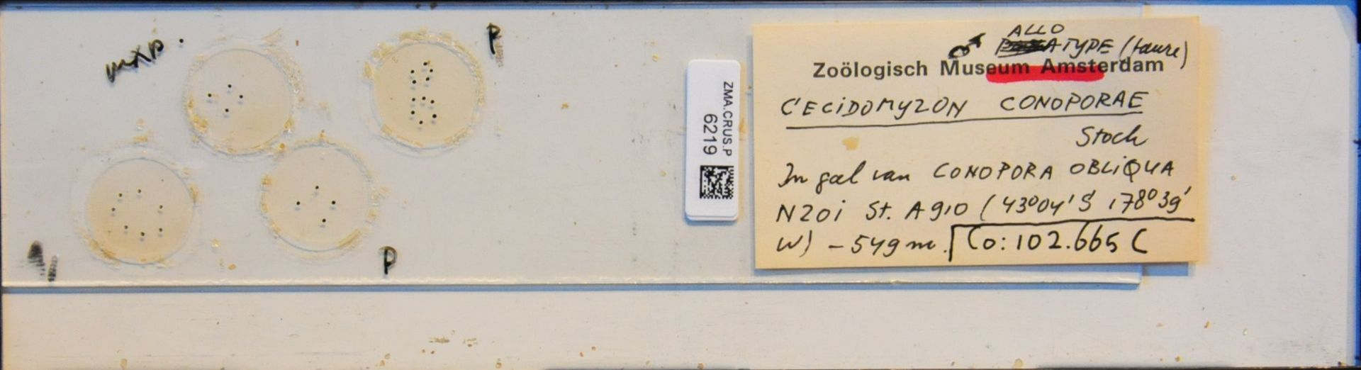 ZMA.CRUS.P.6219 | Cecidomyzon conoporae Stock