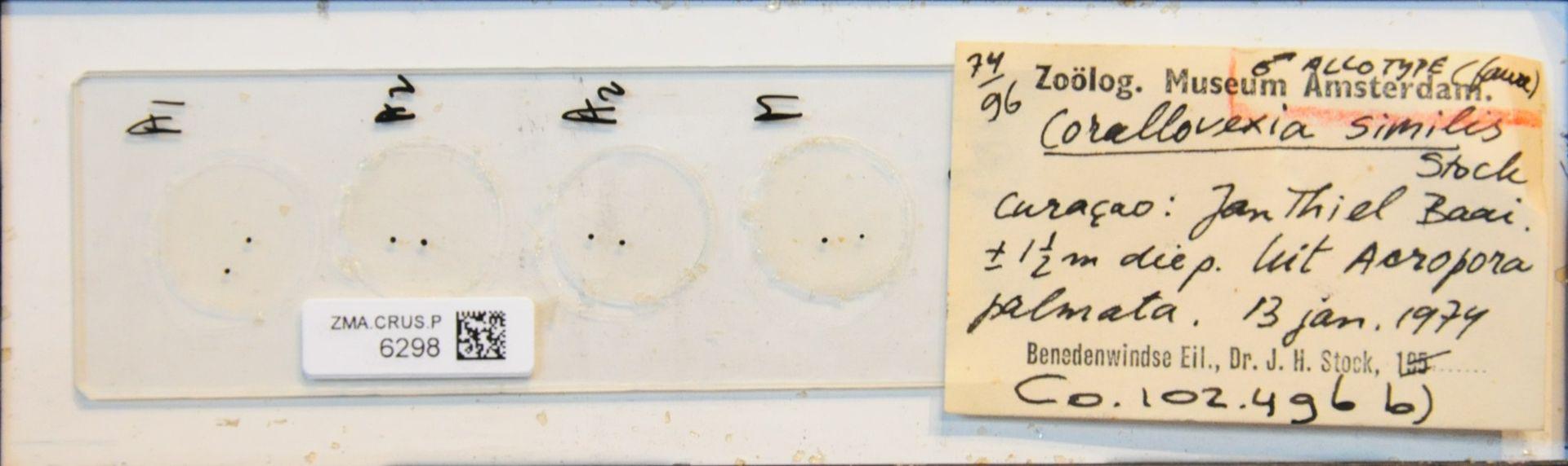 ZMA.CRUS.P.6298 | Corallovexia mixtibrachium Stock
