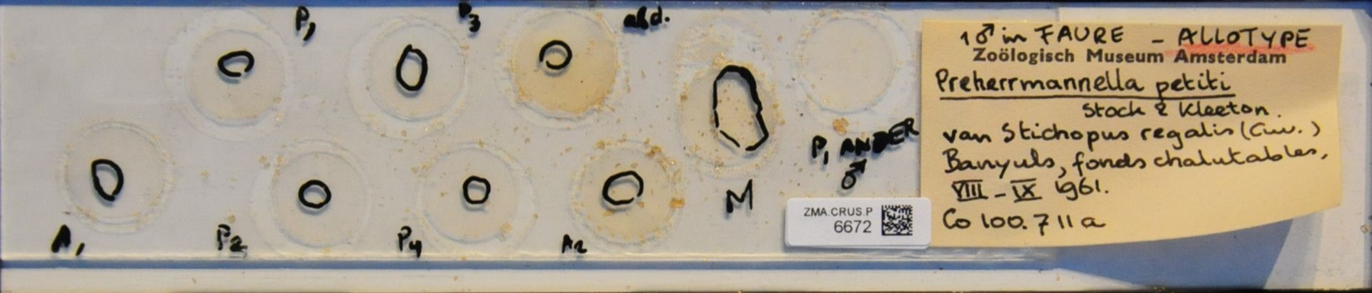ZMA.CRUS.P.6672 | Preherrmannella petiti Stock & Kleeton