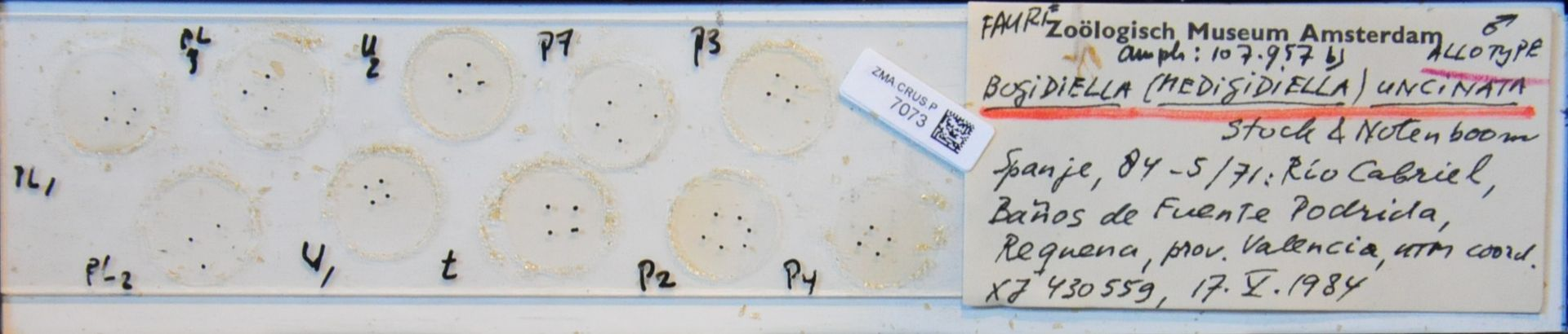 ZMA.CRUS.P.7073 | Bogidiella (Medigidiella) uncinata Stock &  Notenboom