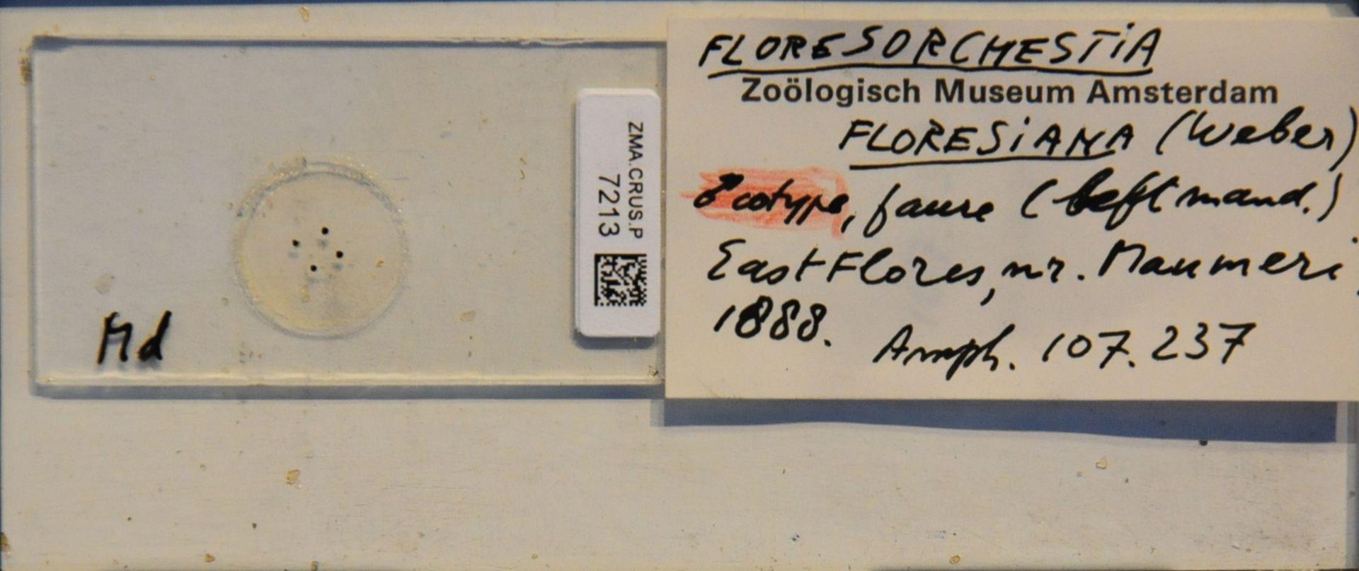 ZMA.CRUS.P.7213 | Floresorchestia floresiana (Weber, 1892)