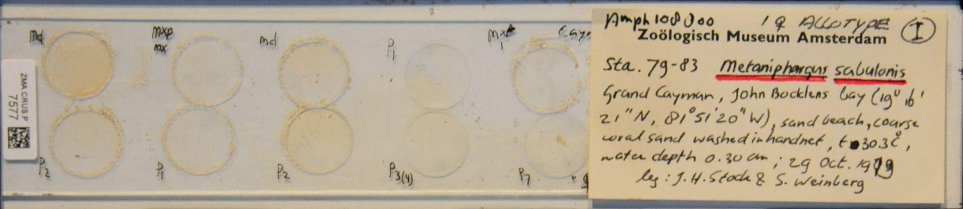ZMA.CRUS.P.7577   Metaniphargus sabulonis