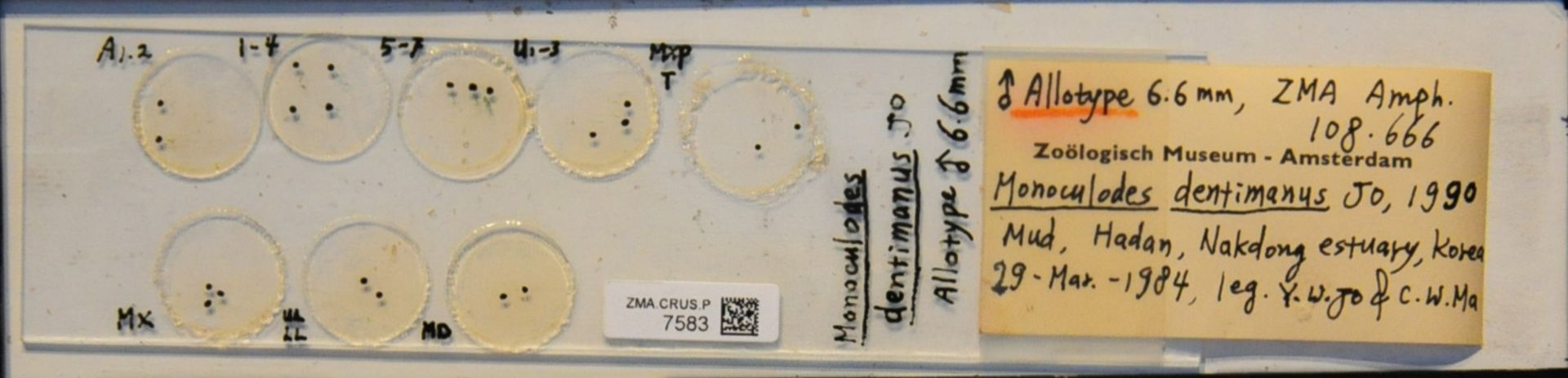 ZMA.CRUS.P.7583 | Monoculodes dentimanus Jo, 1990