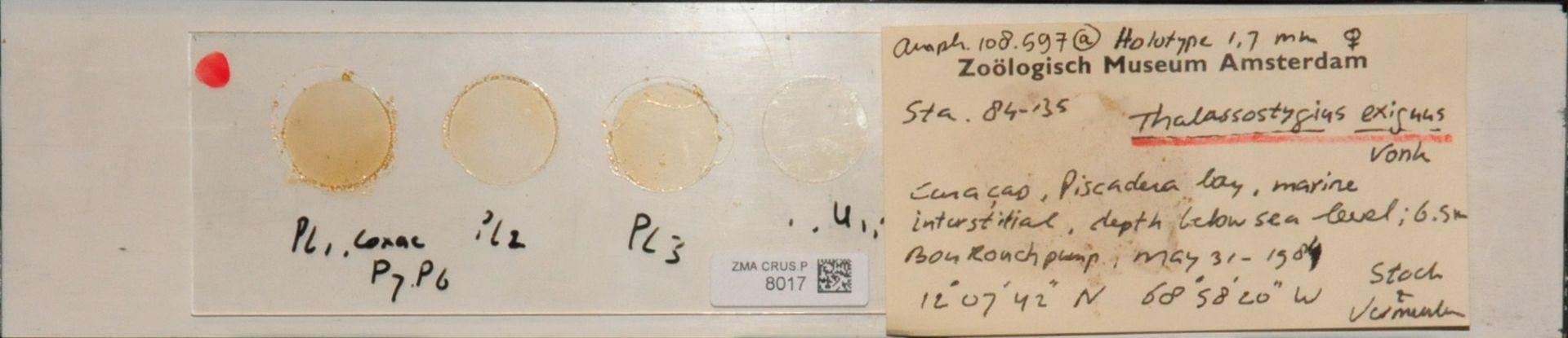 ZMA.CRUS.P.8017 | Thalassostygius exiguus Vonk
