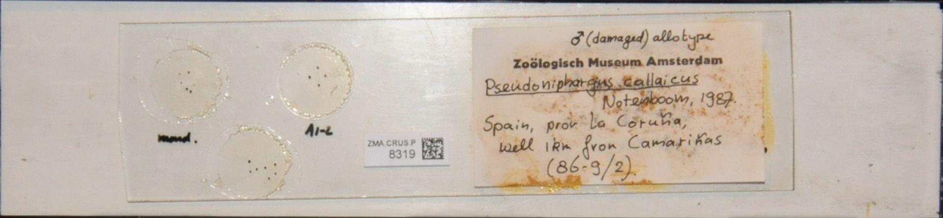 ZMA.CRUS.P.8319   Pseudoniphargus callaicus Notenboom, 1987