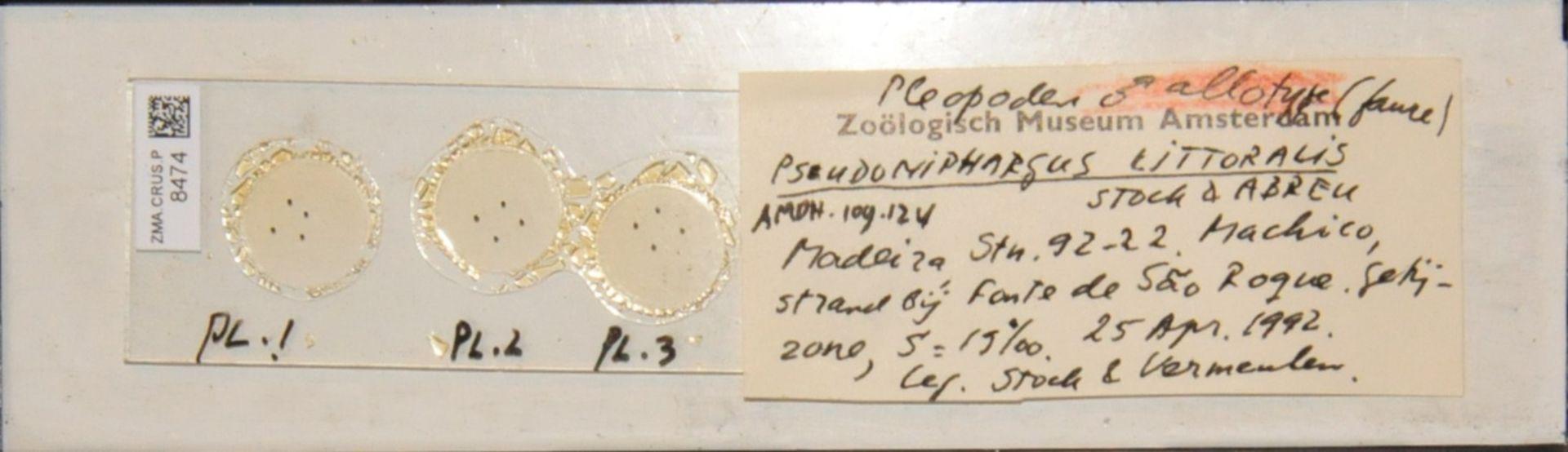 ZMA.CRUS.P.8474 | Pseudoniphargus cf. littoralis Stock & Abreu