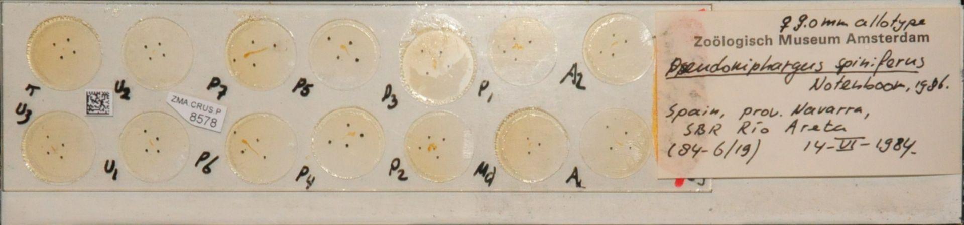 ZMA.CRUS.P.8578 | Pseudoniphargus spiniferus Notenboom, 1986