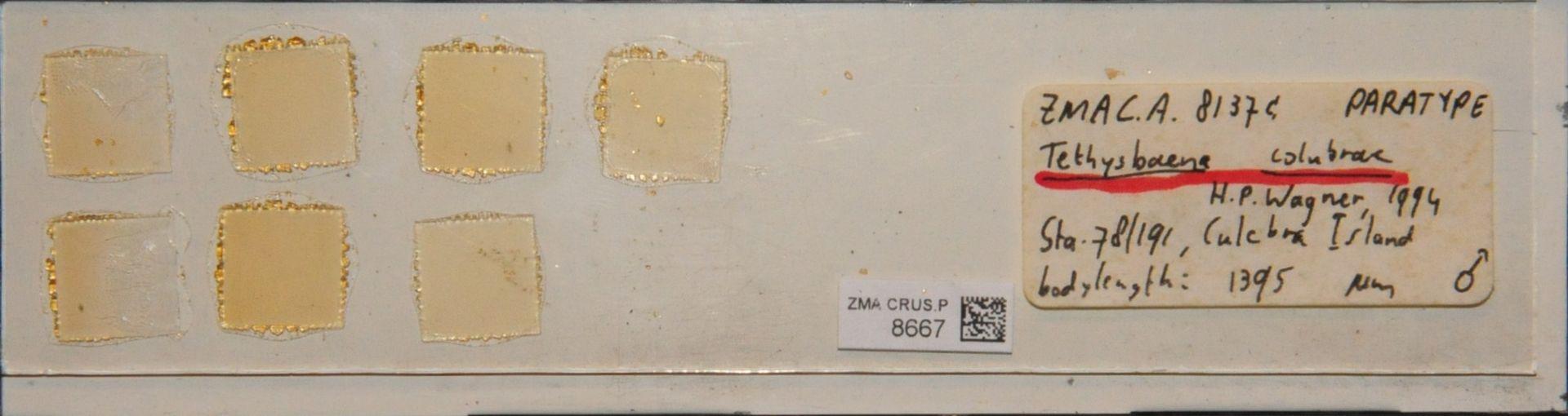 ZMA.CRUS.P.8667 | Tethysbaena colubrae H.P. Wagner, 1994