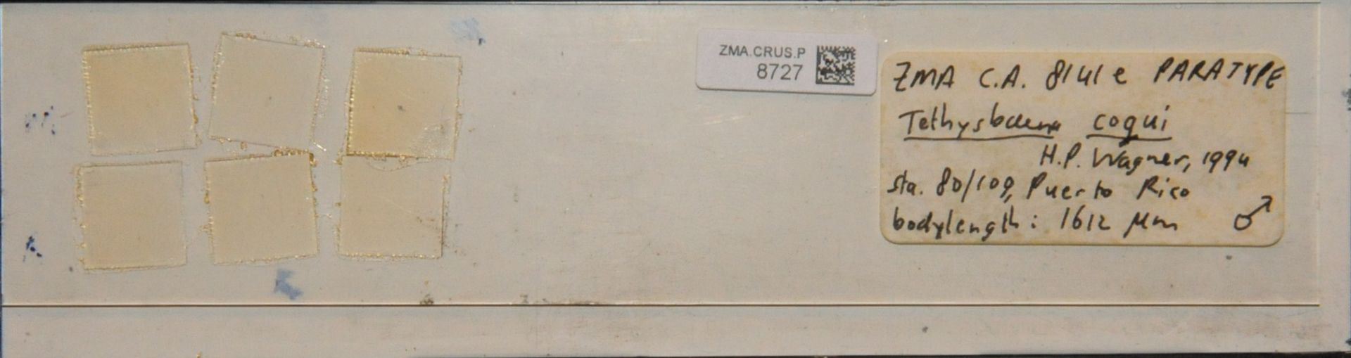 ZMA.CRUS.P.8727 | Tethysbaena coqui H.P. Wagner, 1994